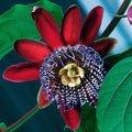 Königs-Grenadille Riesenpassionsblumensamen