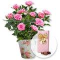 Rosafarbene Rose im Nostalgie-Topf und Belgische Pralinen-Auslese