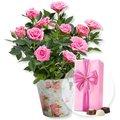 Rosafarbene Rose im Nostalgie-Topf und Belgische Pralinen