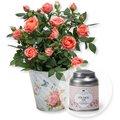 Orangefarbene Rose im Nostalgie-Topf und Tafelgut Für Dich Tee