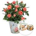 Orangefarbene Rose im Nostalgie-Topf und Dreamlight Alles Gute