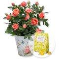 Orangefarbene Rose im Nostalgie-Topf und Gute-Laune-Bonbons