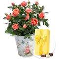 Orangefarbene Rose im Nostalgie-Topf und Belgische Pralinen
