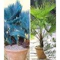 Winterharte Palmen-Sortiment zum Vorteilspreis