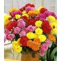 Gefüllte Garten-Chrysanthemen Mix