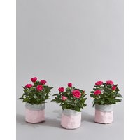 Postal Pink Rose Pots (Pre-Order: Available from 6th March 2018)