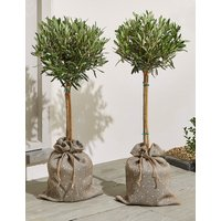 Pair of Olive Trees (Pre-Order: Available from 7th March 2018)