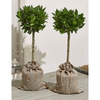 Pair of Bay Trees