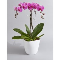 Collection Luxury Pink Umbrella Orchid (Pre-Order: Available from 6th March 2018)