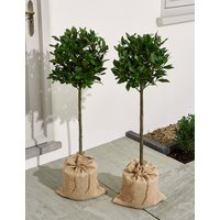 Pair of Bay Trees (Pre-Order: Available from 3rd May 2018)