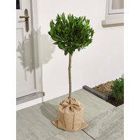 Large Bay Tree (Pre-Order: Available from 3rd May 2018)