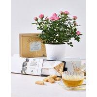 Classic Tea, Shortbread & Rose Plant Hamper