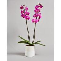 Twin-Stemmed Phalaenopsis