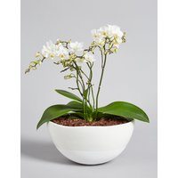 White Multifloral Jungle Orchid
