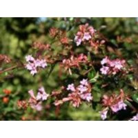 Abelie 'Edward Goucher', 30-40 cm, Abelia 'Edward Goucher', Containerware