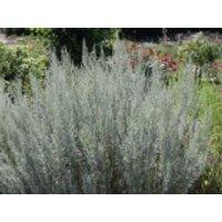 Absinth / Echter Wermut, Artemisia absinthium, Topfware