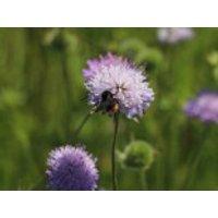 Freiflächen - Acker-Witwenblume, Knautia arvensis, Topfware