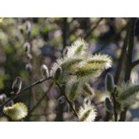 Adventweide 'Silberglanz', 30-40 cm, Salix caprea 'Silberglanz', Containerware
