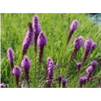 Ährige Prachtscharte 'Floristan Violett' ®, Liatris spicata 'Floristan Violett' ®, Topfware
