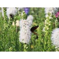 Ährige Prachtscharte 'Floristan Weiß', Liatris spicata 'Floristan Weiß' ®, Containerware