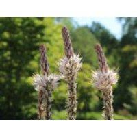 Freiflächen - Affodill, Asphodelus albus, Topfware