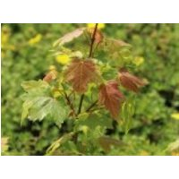 Ahorn 'Jeffersred Autumn Blaze' ®, 40-60 cm, Acer freemanii 'Jeffersred Autumn Blaze' ®, Topfware