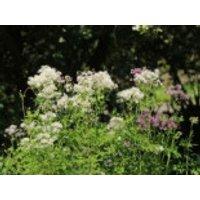 Akeleiblättrige Wiesenraute, Thalictrum aquilegifolium, Topfware
