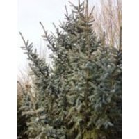 Alcocks Fichte, 30-40 cm, Picea bicolor, Containerware