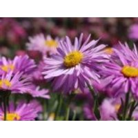 Alpen-Aster 'Happy End', Aster alpinus 'Happy End', Topfware
