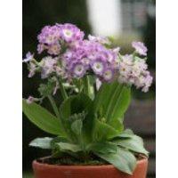 Alpen-Aurikel 'Bartl', Primula x pubescens 'Bartl', Topfware