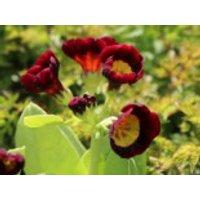 Alpen-Aurikel 'Louis', Primula x pubescens 'Louis', Topfware