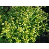 Alpen-Johannisbeere, 30-40 cm, Ribes alpinum, Containerware