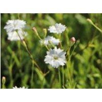 Alpen-Leimkraut 'Starry Dreams', Silene alpestris 'Starry Dreams', Topfware