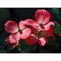 Amerikanische Blumen-Hartriegel 'Royal Red', 100-125 cm, Cornus florida 'Royal Red', Containerware