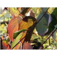 Blütensträucher und Ziergehölze - Amerikanische Blumen-Hartriegel 'Willy's New Red', 60-80 cm, Cornus florida 'Willy's New Red', Containerware