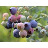 Amerikanische Heidelbeere Lowberry ® 'Little Blue Wonder' ®, 10-20 cm, Vaccinium corymbosum Lowberry ® 'Little Blue Wonder' ®, Containerware