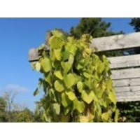 Amerikanische Pfeifenwinde / Pfeifenblume / Gespensterpflanze, 40-60 cm, Aristolochia macrophylla (durior), Containerware