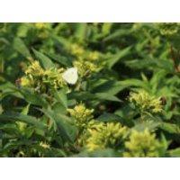 Blütensträucher und Ziergehölze - Amerikanische Weigelie 'Butterfly', 30-40 cm, Diervilla sessiliflora 'Butterfly', Containerware