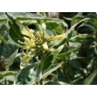 Blütensträucher und Ziergehölze - Amerikanische Weigelie 'Cool Splash', 40-60 cm, Diervilla sessilifolia 'Cool Splash', Containerware