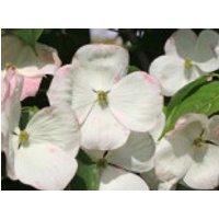 Blütensträucher und Ziergehölze - Amerikanischer Blumen-Hartriegel 'Barton's White', 40-50 cm, Cornus florida 'Barton's White', Containerware
