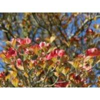 Blütensträucher und Ziergehölze - Amerikanischer Blumen-Hartriegel 'Cherokee Sunset', 40-60 cm, Cornus florida 'Cherokee Sunset', Containerware