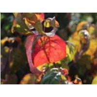 Blütensträucher und Ziergehölze - Amerikanischer Blumen-Hartriegel 'Eve Pride', 60-80 cm, Cornus florida 'Eve Pride', Containerware