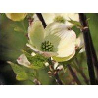 Blütensträucher und Ziergehölze - Amerikanischer Blumen-Hartriegel 'Fastigiata', 40-60 cm, Cornus florida 'Fastigiata', Containerware