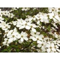 Blütensträucher und Ziergehölze - Amerikanischer Blumen-Hartriegel 'Monarch', 60-80 cm, Cornus nuttallii 'Monarch', Containerware