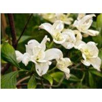 Blütensträucher und Ziergehölze - Amerikanischer Blumen-Hartriegel 'Pluribracteata', 60-80 cm, Cornus florida 'Pluribracteata', Containerware