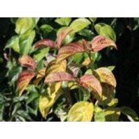 Blütensträucher und Ziergehölze - Amerikanischer Blumen-Hartriegel 'Pumpkin Patch', 100-125 cm, Cornus florida 'Pumpkin Patch', Containerware
