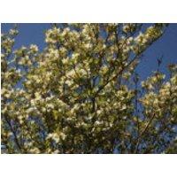 Blütensträucher und Ziergehölze - Amerikanischer Blumen-Hartriegel 'White Cloud', 40-60 cm, Cornus florida 'White Cloud', Containerware