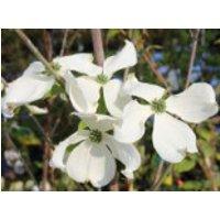 Blütensträucher und Ziergehölze - Amerikanischer Blumen-Hartriegel 'Cherokee Princess', 60-80 cm, Cornus florida 'Cherokee Princess', Containerware