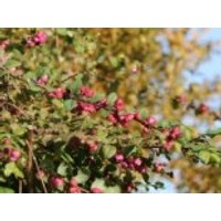 Blütensträucher und Ziergehölze - Amethystbeere 'Magic Berry', 60-100 cm, Symphoricarpos doorenbosii 'Magic Berry', Containerware