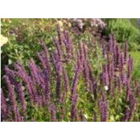 Anis-Duftnessel 'Purple Haze' ®, Agastache foeniculum 'Purple Haze' ®, Topfware